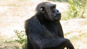 sentada negra del mono como pensando imagen de archivo