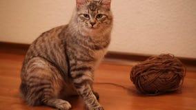 Sentada rabicorta y mirada del gato metrajes