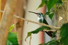 Sentada verde del colibrí en el árbol Fotografía de archivo libre de regalías