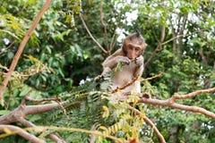 Sentada y consumición del mono de macaque del bebé Fotografía de archivo
