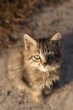 Sentando e olhando o gato cinzento pequeno da câmera Fotografia de Stock
