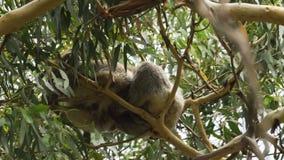Sentido da coala de equilíbrio, dormindo em um ramo muito fino vídeos de arquivo