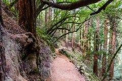 Sentier de randonnée étroit parmi des arbres de séquoia photographie stock libre de droits