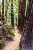 Sentier de randonnée étroit parmi des arbres de séquoia photo libre de droits