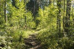Sentier piéton dans la forêt d'été Images libres de droits