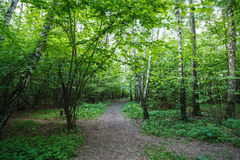 Sentier piéton dans le bois de bouleau Photos libres de droits