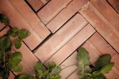 Sentier piéton de brique rouge avec la plante verte de feuilles grandissant entre et autour des pierres Photos libres de droits