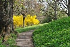 Sentier piéton et genista au printemps Image libre de droits
