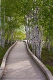 Sentiero costiero attraverso gli alberi di betulla Immagini Stock
