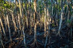 Sentiero costiero della mangrovia nel parco nazionale di Hillsborough del capo, Australia immagini stock
