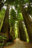 Sentiero forestale del Redwood Immagini Stock