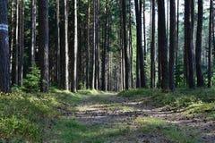 Sentiero forestale in un'abetaia un giorno soleggiato Immagine Stock