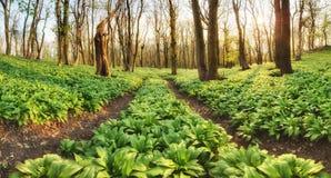 Sentiero nel bosco attraverso aglio selvaggio - ursinum dell'allium Fotografia Stock