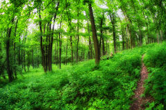 Sentiero nel bosco in bosco verde e frondoso Immagine Stock