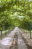 Sentiero per pedoni della vigna. Immagini Stock