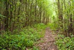 Sentiero per pedoni in foresta Immagini Stock Libere da Diritti