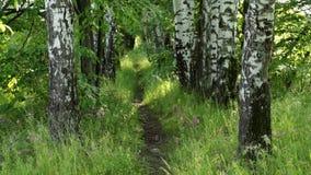 Sentiero per pedoni nella foresta di estate archivi video