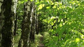Sentiero per pedoni nella foresta di estate video d archivio