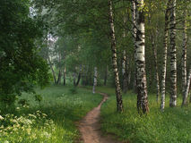 Sentiero per pedoni in un birchwood Immagine Stock Libera da Diritti