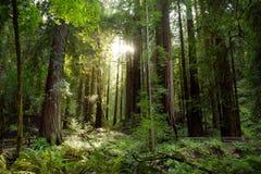 Sentiers de randonnée par les séquoias géants en forêt de Muir près de San Francisco, la Californie Photographie stock libre de droits