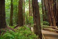 Sentiers de randonnée par les séquoias géants en forêt de Muir près de San Francisco, la Californie Photo libre de droits