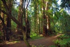 Sentiers de randonnée par les séquoias géants en forêt de Muir près de San Francisco, la Californie Photographie stock