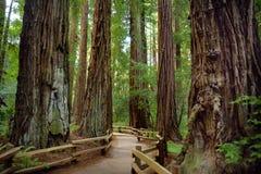 Sentiers de randonnée par les séquoias géants en forêt de Muir près de San Francisco, la Californie Photos libres de droits