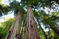 Sentiers de randonnée par les séquoias géants en forêt de Muir près de San Francisco, la Californie Image libre de droits
