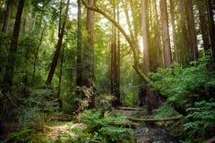 Sentiers de randonnée par les séquoias géants en forêt de Muir près de San Francisco, la Californie Photo stock