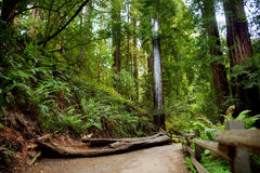 Sentiers de randonnée par les séquoias géants en forêt de Muir près de San Francisco, la Californie Images stock