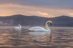 Sentiment blanc de cygne romantique et amour au lac Yamanaka avec le Mt Images libres de droits