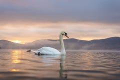 Sentiment blanc de cygne romantique et amour au lac Yamanaka avec le Mt Photo stock