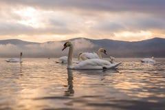 Sentiment blanc de cygne romantique et amour au lac Yamanaka avec le Mt Photographie stock