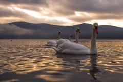 Sentiment blanc de cygne romantique et amour au lac Yamanaka avec le Mt Image stock