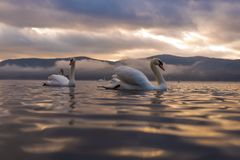Sentiment blanc de cygne romantique et amour au lac Yamanaka avec le Mt Photographie stock libre de droits
