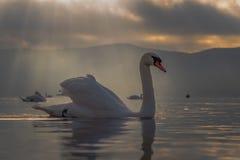 Sentiment blanc de cygne romantique et amour au lac Yamanaka avec le Mt Photos libres de droits