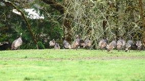 Sentiment de alimentation de retraitement de faune animale sauvage de gibier à plumes menacé clips vidéos