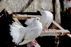 Sentiment romantique de deux colombes Photos stock