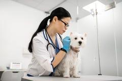 Sentimento de cabelo escuro do veterinário ocupado ao examinar o cão branco imagem de stock