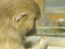 Sentimento do mamífero do anima do babuíno imagem de stock royalty free