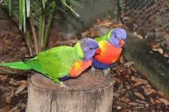 Sentimentos loving da parte dos pássaros Imagem de Stock Royalty Free