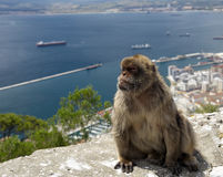 Sentinel. A monkey sentinel in Gibraltar Royalty Free Stock Image