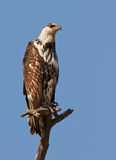 Sentinel. African fish eagle perched high, South Africa Royalty Free Stock Photo