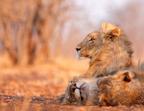 Sentinel. Young male lion watches over his sleeping brothers Stock Images
