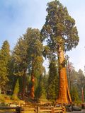 The Sentinel. A giant sequoia in Sequoia National Park Stock Image