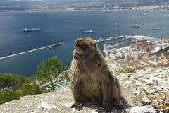 Sentinel of Gibraltar. The last wild population of Barbary Macaque in Europe lives in Gibraltar's rock Stock Image