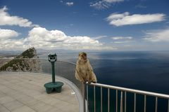 Sentinel of Gibraltar. The last wild population of Barbary Macaque in Europe lives in Gibraltar's rock Royalty Free Stock Photography