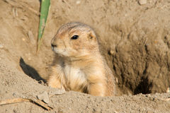 Sentinel Ground squirrel. Near burrow entry Royalty Free Stock Image