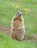Sentinel marmot royalty free stock images