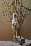 Sentinel Meerkat. On guard watching for predators Royalty Free Stock Photo